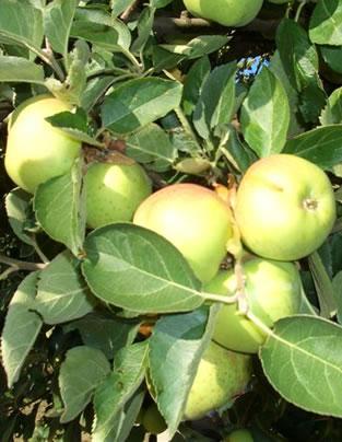 Manzanas en el árbol